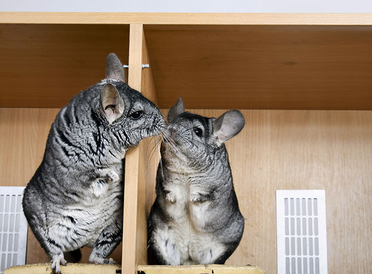 Chinchilla Als Haustier Zooroyal Magazin