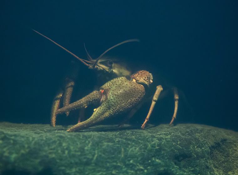 Edelkrebse haltung im teich zooroyal ratgeber for Welche tiere fressen algen im teich