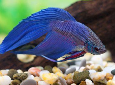 Aquaristik magazin themen rund um 39 s aquarium zooroyal for Siamesischer kampffisch