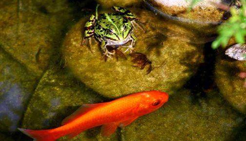 Amphibien im Gartenteich