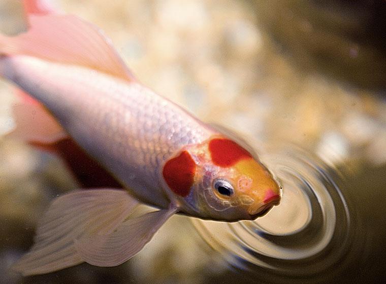 Krankheiten bei Teichfischen