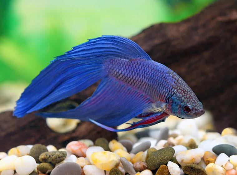 Siamesischer Kampffisch