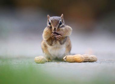 Streifenhörnchen