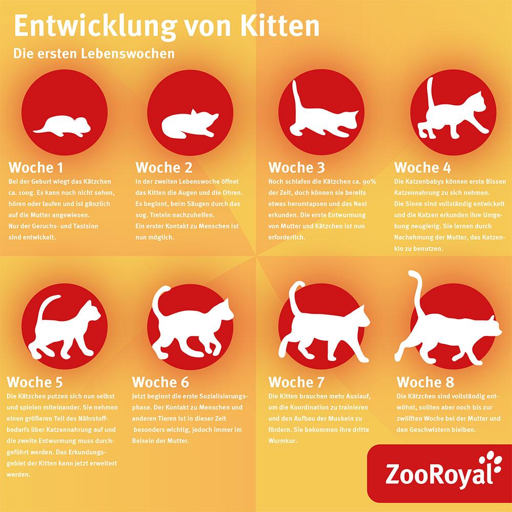 Katzenwelpen Entwicklung