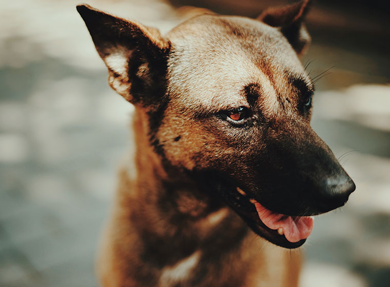 Hunde-IQ