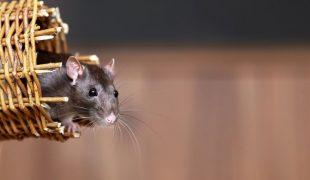 Ratten als Haustier: Ratten artgerecht halten