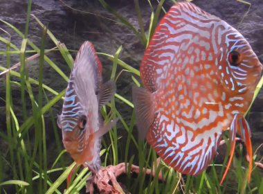 Aquarienbewohner kaufen richtig halten und pflegen for Siamesischer kampffisch haltung