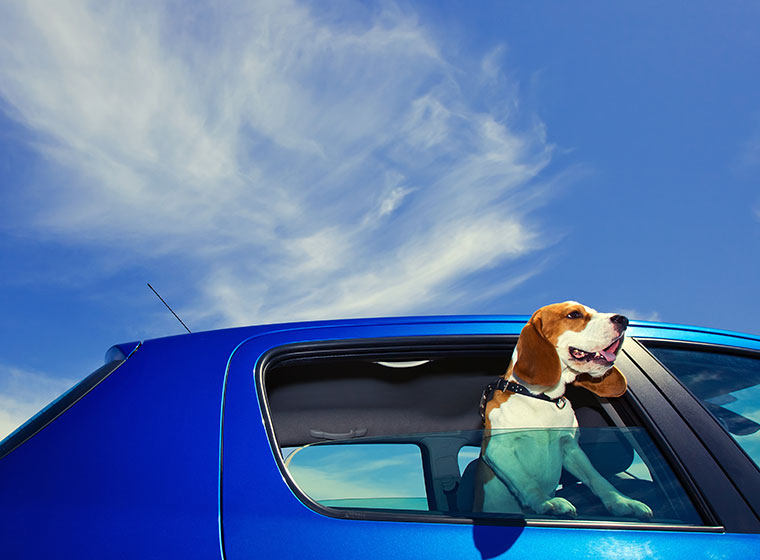 Hundetransport: Hund im Auto