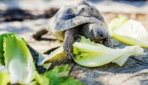 Landschildkröten: Ernährung von Schildkröten