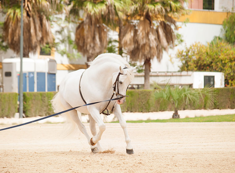 Pferde richtig longieren: Longenarbeit mit dem Pferd