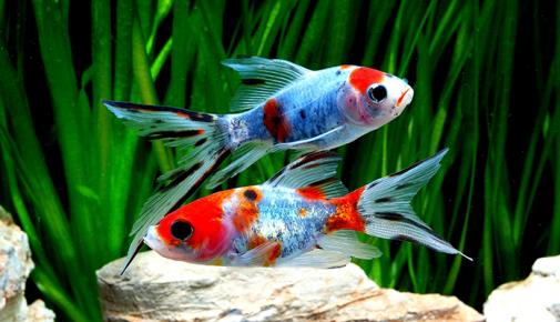 Aquaristik magazin themen rund um 39 s aquarium zooroyal for Siamesischer kampffisch haltung