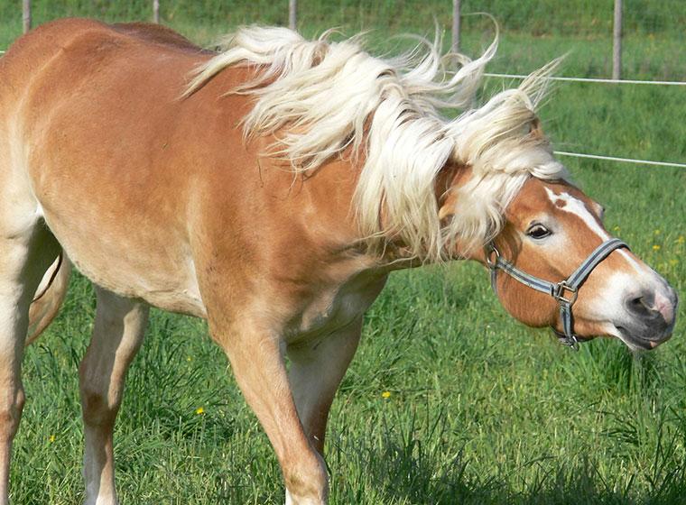 Headshaking bei Pferden