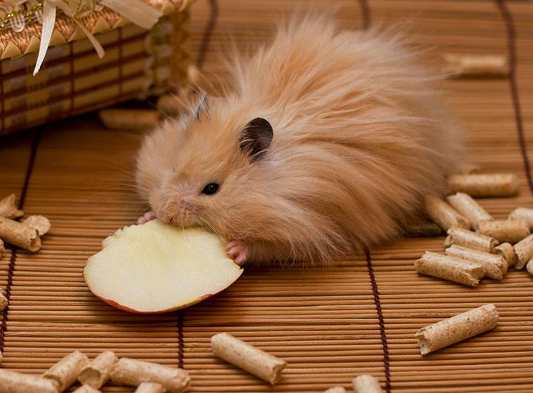 Hamsterarten: Der Teddyhamster