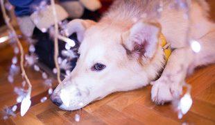 Silvester mit Haustier: Keine Angst vor Feuerwerk