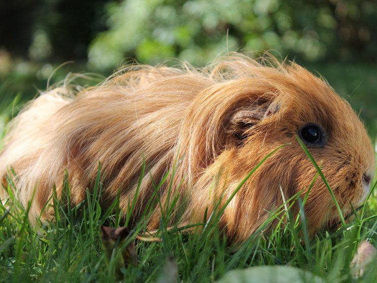 langhaarmeerschweinchen