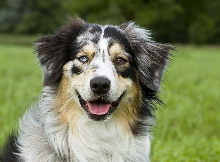 australian shepherd rasseportrait im hunde magazin zooroyal magazin. Black Bedroom Furniture Sets. Home Design Ideas