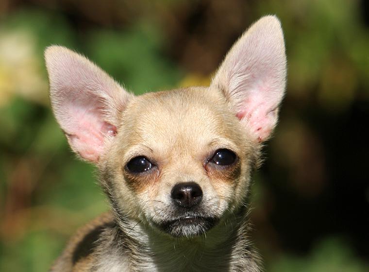 Chihuahua Rasseportrait Im Hunde Magazin Zooroyal Magazin