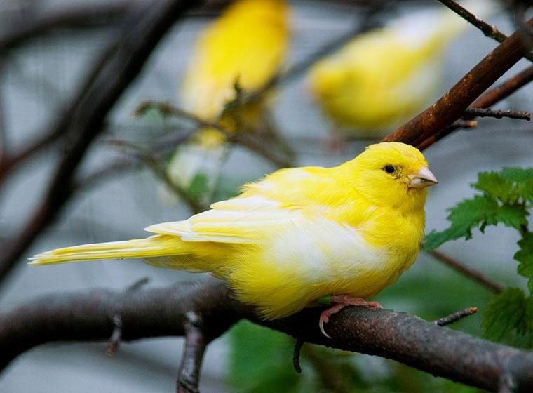 Kanarienvogel: Kauf und Haltung