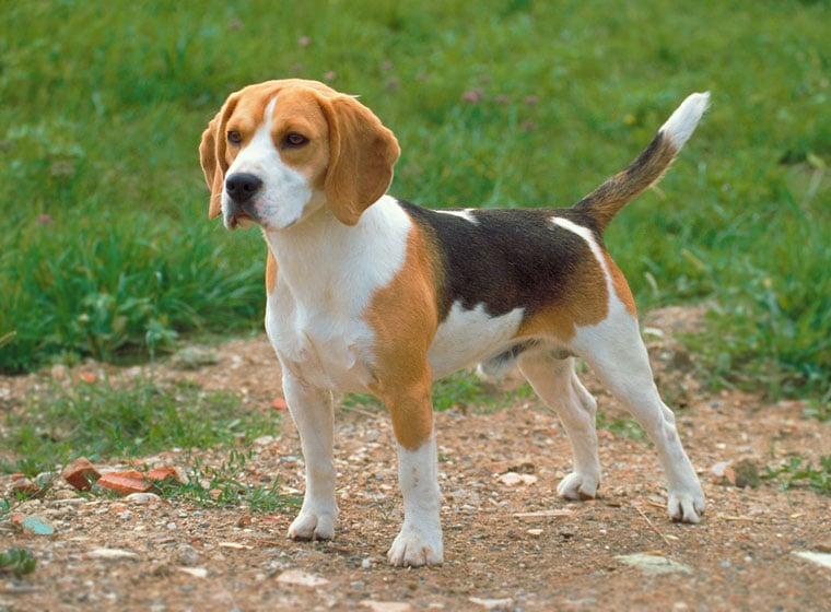 beagle hund rasseportrait im hunde magazin zooroyal magazin. Black Bedroom Furniture Sets. Home Design Ideas