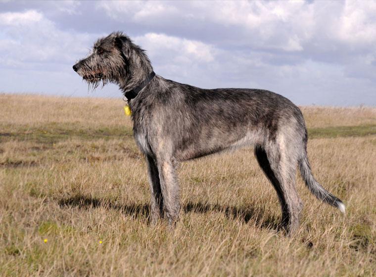 sibirischer wolfshund