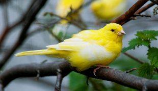 Kanarienvogel Kauf