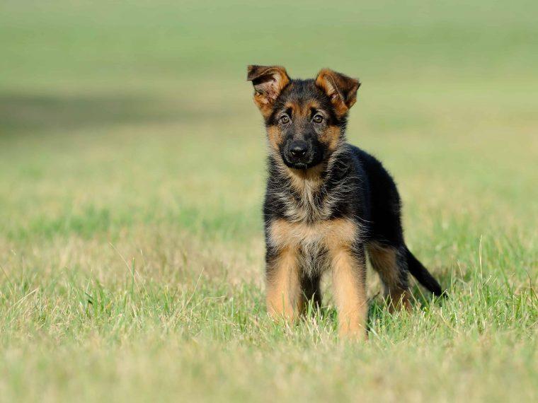 deuscher schäferhund welpe