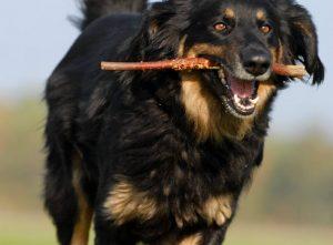 Hovawart Hunde