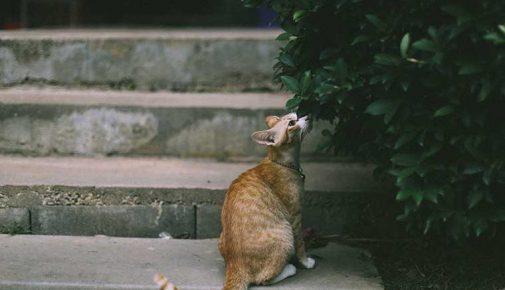 Katzensteuer