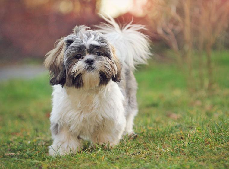 Shih Tzu Rasseportrait Im Hunde Magazin Zooroyal Magazin