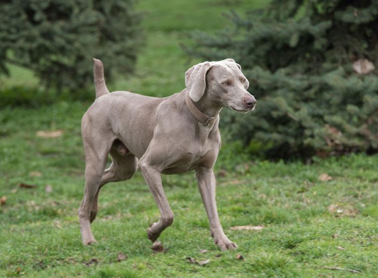Pointer Dog Training Videos