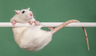 rattentraining