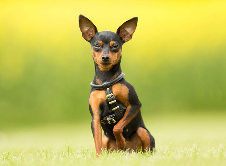 Dog Pinscher For Sale