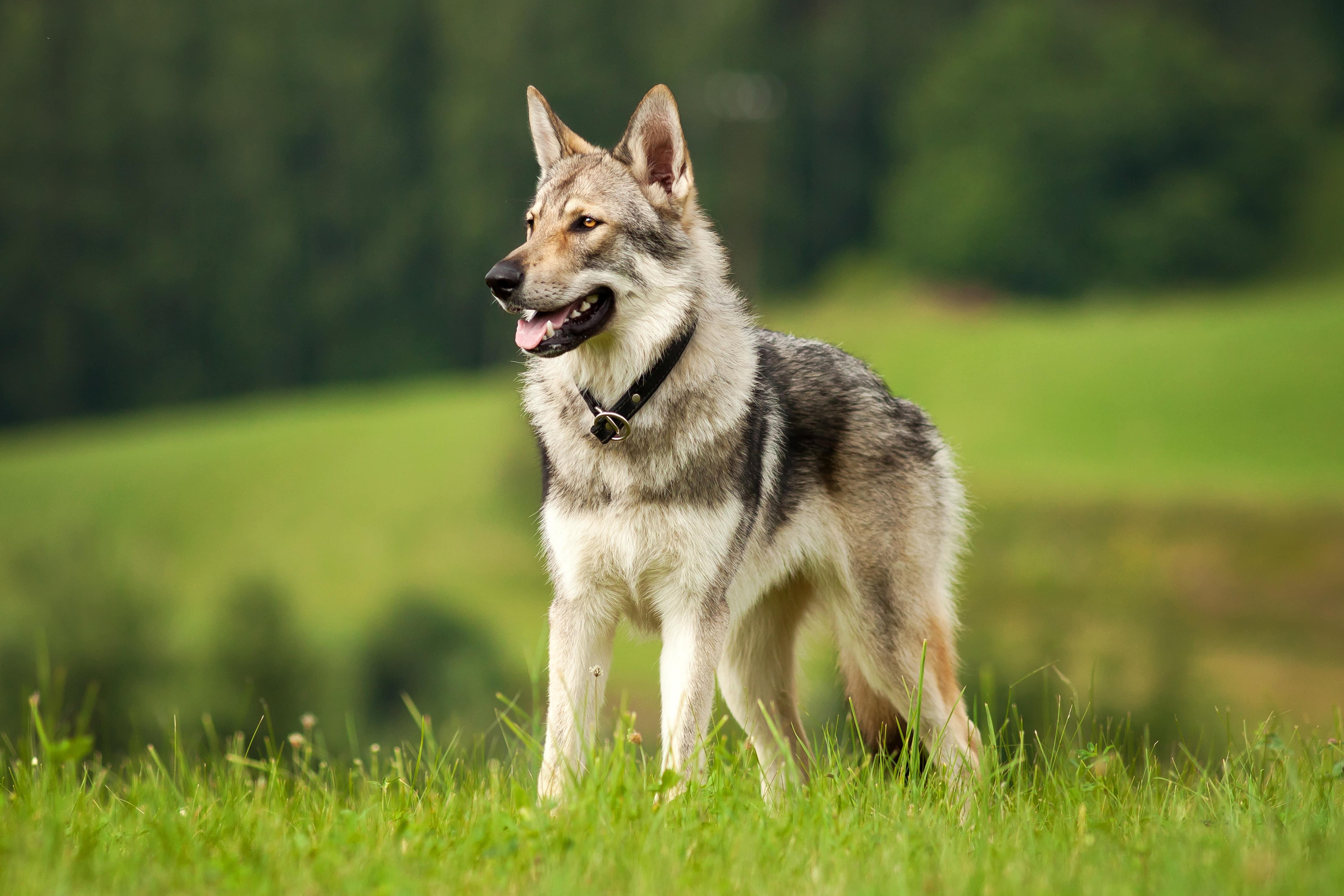 Wolfshund Alles Zur Haltung Und Pflege Zooroyal Magazin