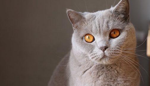 Kartäuser Katze