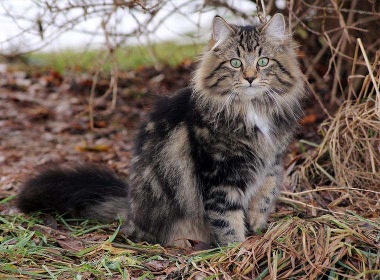 Norwegische Waldkatze Im Rasseportrait Zooroyal Magazin