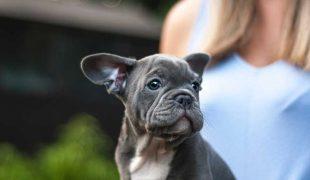 Beliebte Hunderassen: Französische Bulldogge