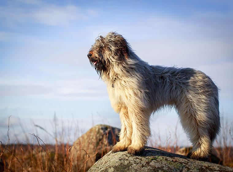 Portugiesischer Wasserhund im Rasseportrait | ZooRoyal Magazin