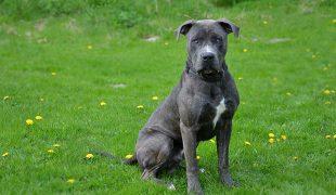 Dogo Canario