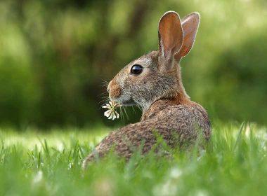 Hase und Kaninchen