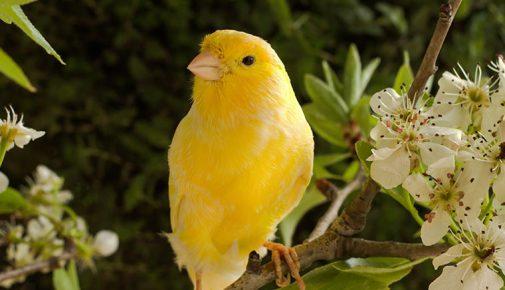 Kanarienvogel singt nicht mehr