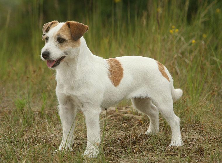jack russell terrier mix weiß braun