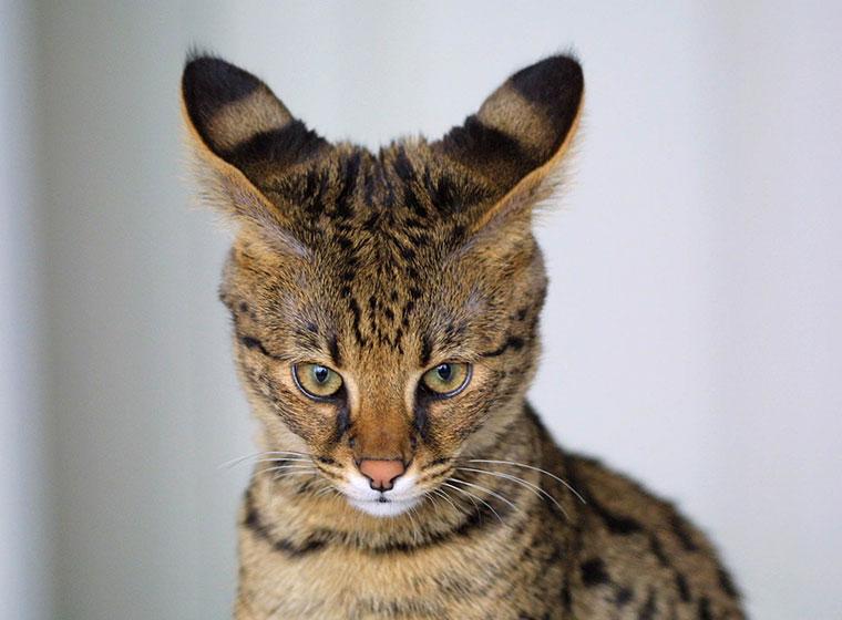 Savannah Katze Kopf