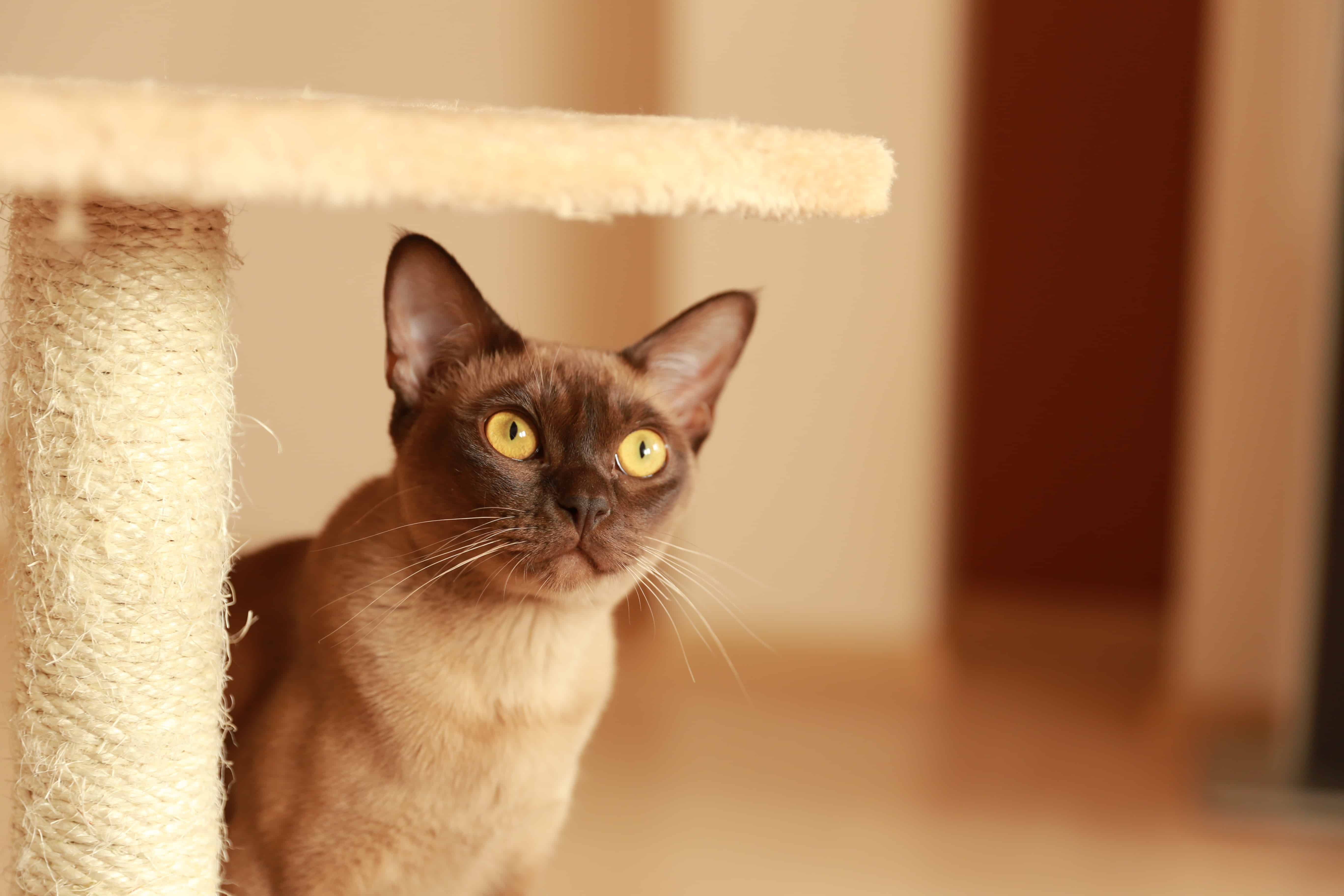 Burma Katze Im Rasseportrait Zooroyal Magazin
