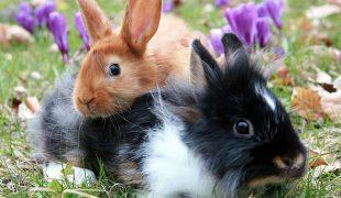 Kaninchen vergesellschaften