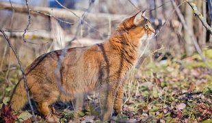 Somali Katze