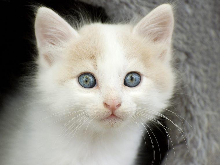 türkisch van kitten