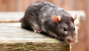 Rattenkäfig kaufen und einrichten
