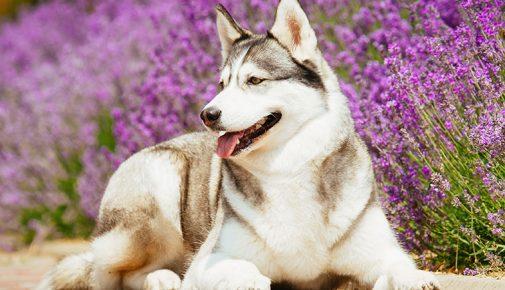 Aromatherapie für einen entspannten Hund