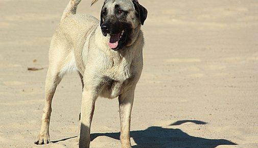 Kangal: Anatolischer Hirtenhund
