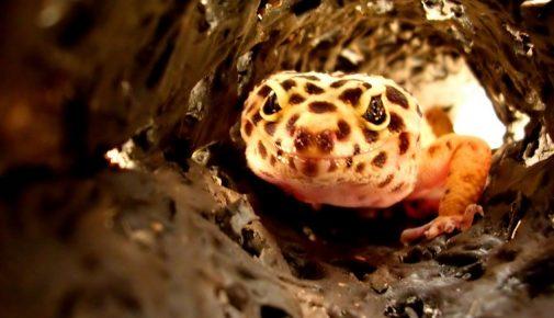 Leopardgeckos: Artgerechte Haltung